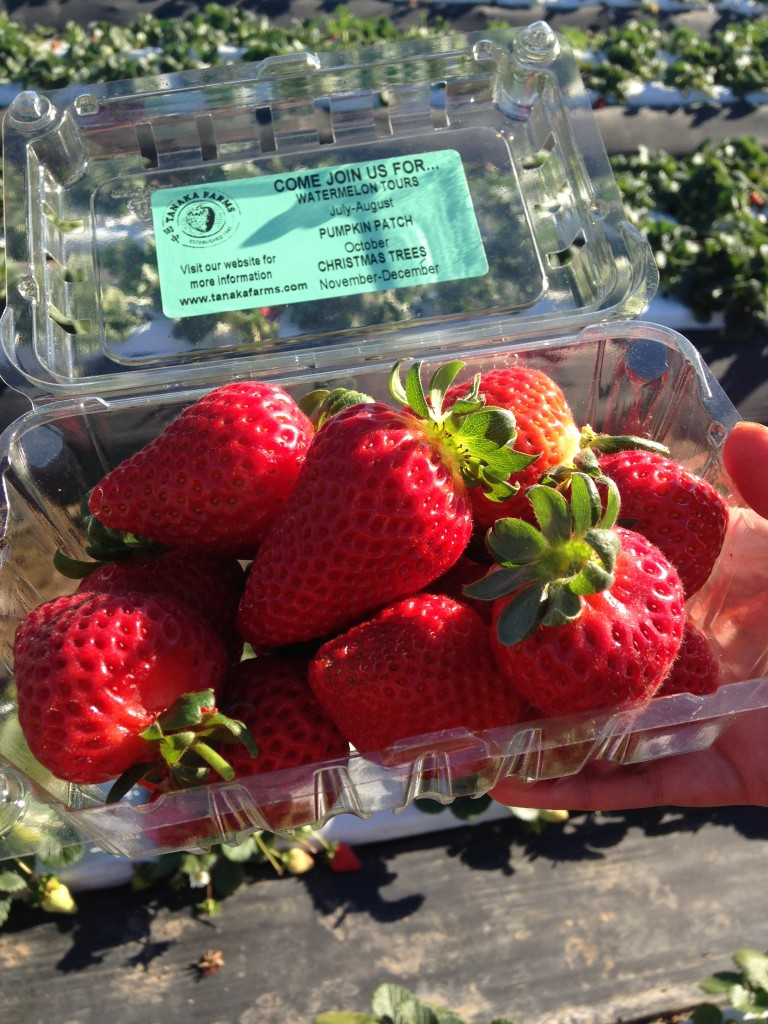 We picked some of the ripest and sweetest strawberries I've ever tasted.
